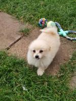Teddy bear puppies pon/shiz tzu for sale.