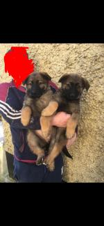 German Shepherd pups for sale.