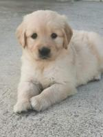 Golden Retriever puppies for sale for sale.