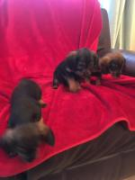 7 teckle x patterdale puppies in Monaghan for sale.