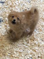 Pom Puppies for sale.