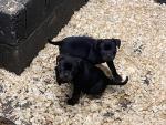 Rottweiler for sale.