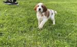 Irish Red and White Setter Pups for sale.