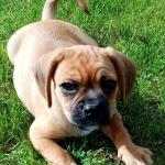 Pugalier for sale.