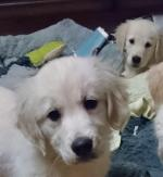 Stunning Pure bred Retriever puppies for sale.