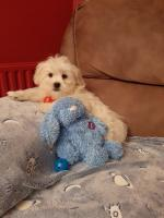 Fluffy Malshi puppies (Maltese x Shihtzu) for sale.