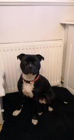Staffordshire Bull Terrier for sale.