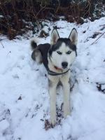Siberian Husky blue eyes for sale.