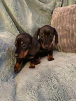 IKC Dachshunds in Wexford for sale.