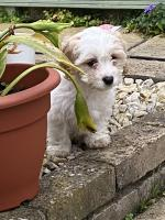 Beautiful cavachon pup in Westmeath for sale.