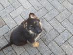 German shepherd female pups for sale.