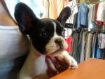 French Bulldog Puppy [sold].