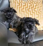 Cairn terrier x Maltese puppies for sale.