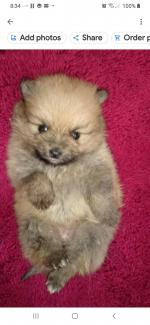 Pomeranian 1 left for sale.