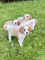 Beautiful Cavachon puppies for sale.