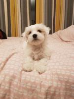 Maltese Male Puppy for sale.