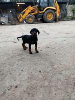 Female Doberman puppy in Kerry for sale.