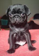 IKC BLACK PUGS for sale.