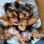 Purebred Yorkshire Terriers in Cork for sale.