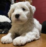 Tibetan Terrier for sale.