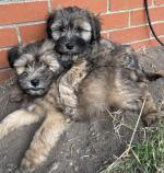 Terrier puppies for sale.