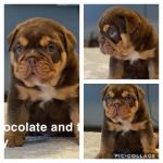 IKC English bulldog puppies for sale.