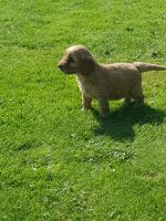 Stunning F1 Cockapoo puppies PRA/PRCD Clear for sale.