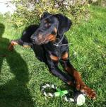 15 month male Doberman for sale.