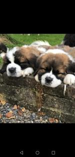 St. Bernard Pups for sale.
