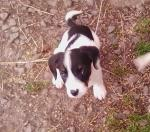 Spaniel/collie cross for sale.