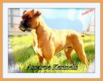 Champion Bloodline Boxer Puppies [sold].