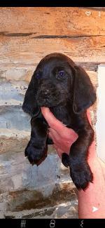 Golden cocker spaniel X Beagle pups for sale.