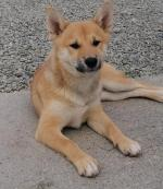 Shiba Inus Yoshi and Lilly for sale.