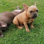 Miniature French  bulldog Butsi ,Coco, Tiger, Negrolino for sale.