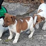 Miniature Jack Russell Pups for sale.
