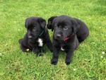 Black Labrador Pups for sale.