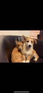 Welsh Corgis pups for sale.