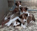 Colie Pups for sale.