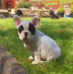 Champion French Bulldog Puppies for sale.