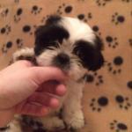 Shih Tzu puppies [sold].