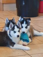 Pure breed Siberian husky for sale.