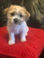 Malshijack puppies in Westmeath for sale.