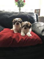 Malshichon puppies for sale.