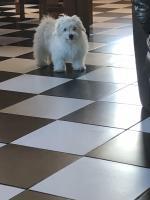Maltichon puppy for sale.