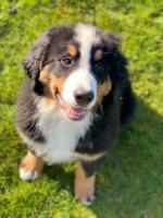 Bernese Mountain Dog for sale.