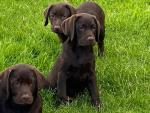 IIKC Chocolate Labrador Puppies-Parents Health Tested) for sale.