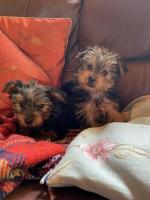 Miniature Yorkshire terriers for sale.