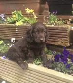 Cocker Spaniel puppies in Limerick for sale.