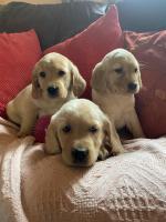 Golden Cocker Labrador for sale.