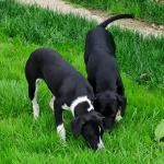 Pointer puppies for sale.